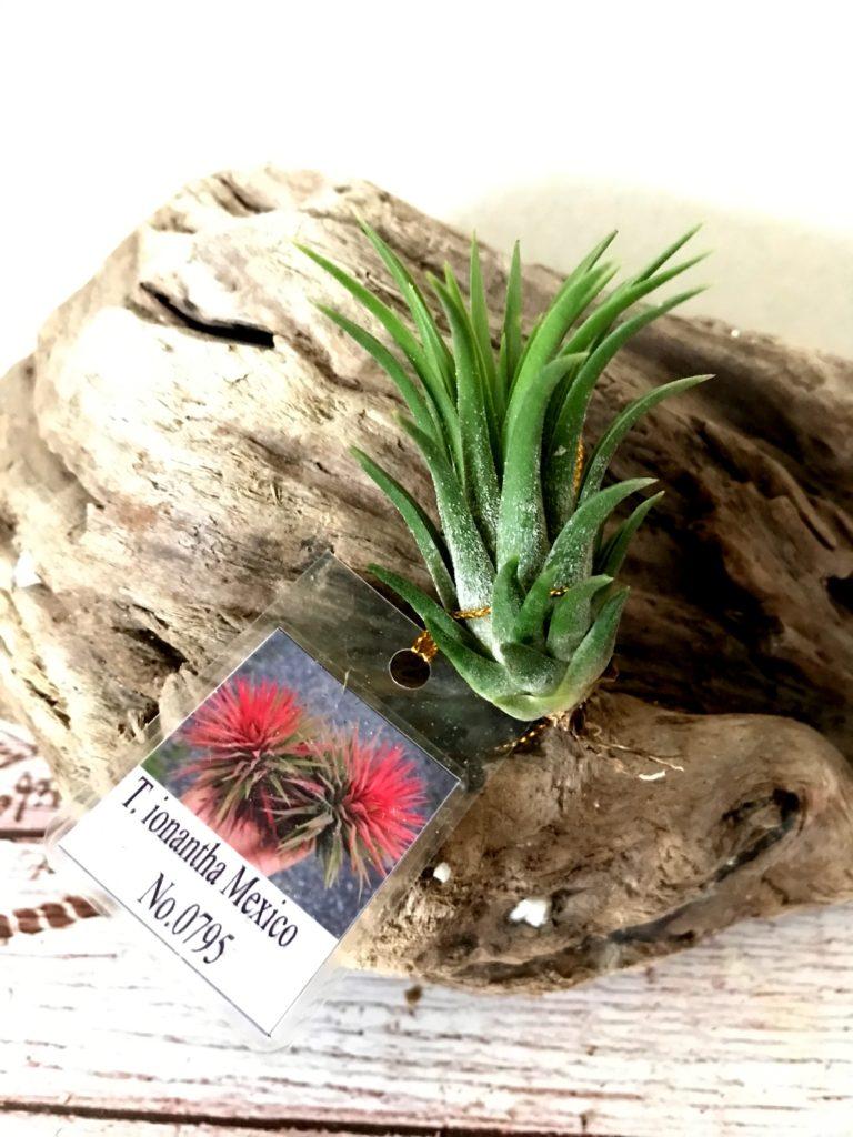 チランジア・イオナンタ・メキシコ(No.0795) Tillandsia ionantha 'Mexico' (No.0795)