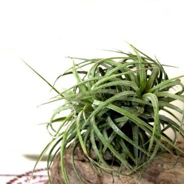 チランジア・イオナンタ・カーリーリーブス Tillandsia ionantha 'Curly Leaves' ティランジア育て方 図鑑