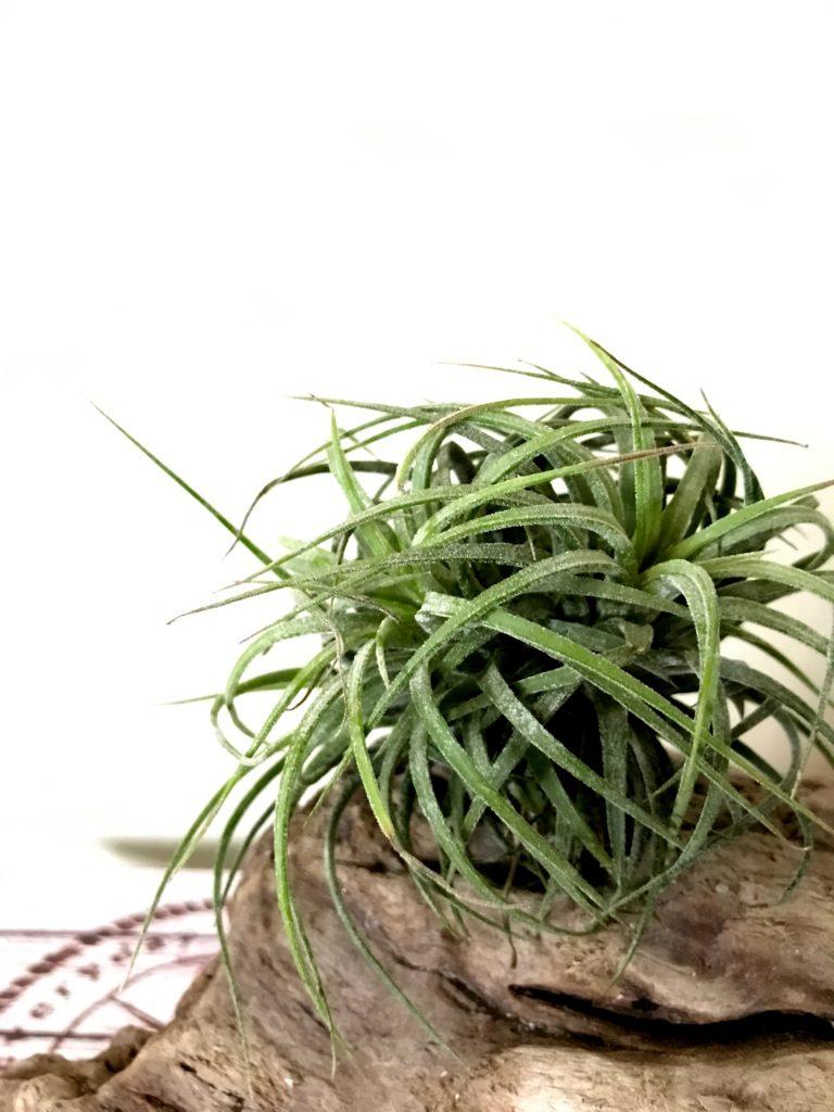 チランジア・イオナンタ・カーリーリーブス Tillandsia ionantha 'Curly Leaves'