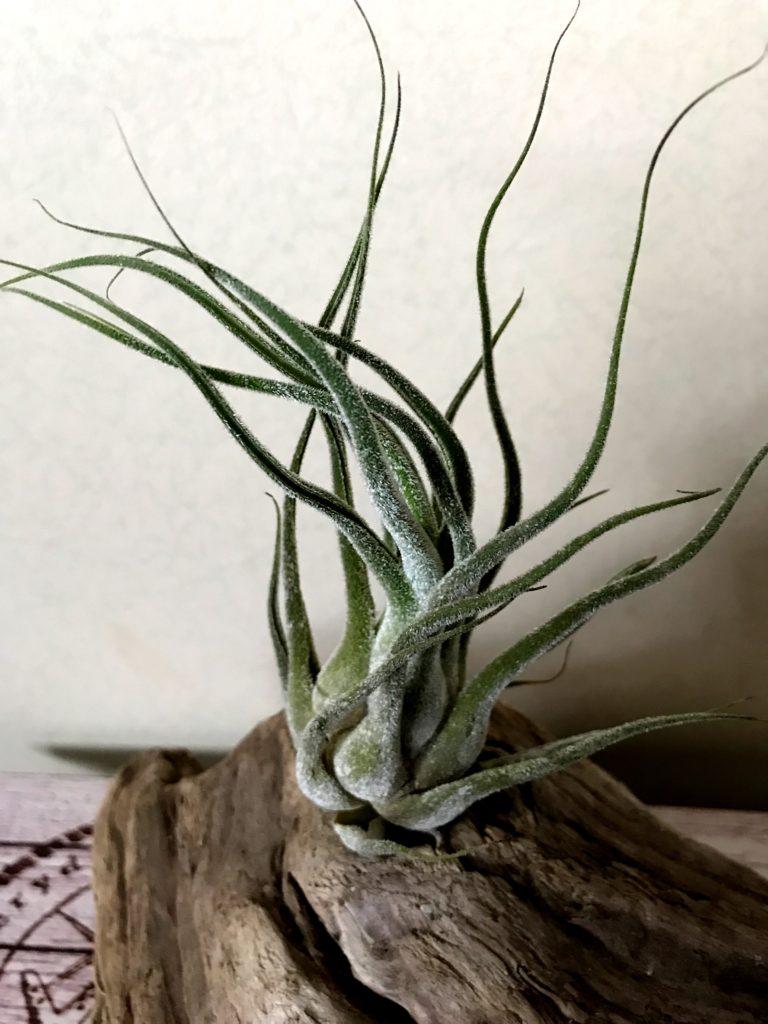 チランジア・セレリアナ×プルイノーサ・コロンビアフォーム Tillandsia seleriana x pruinosa 'Colombia Form'
