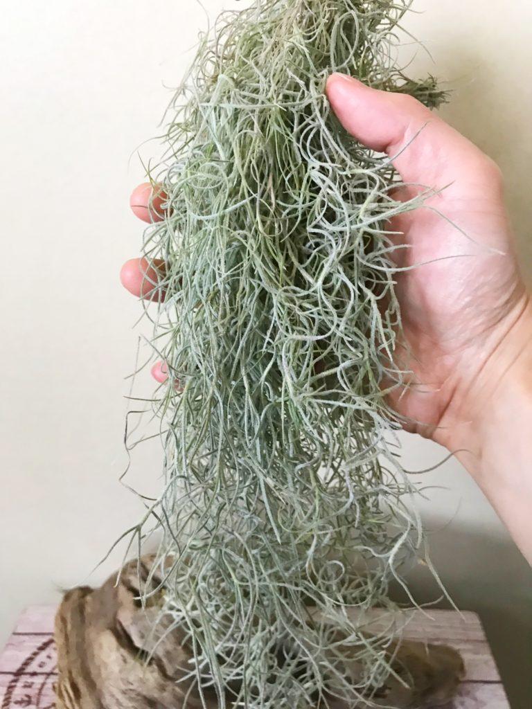 チランジア・ウスネオイデス・ペルビアンカーリーフォーム Tillandsia usneoides 'Peruvian Curly Form'