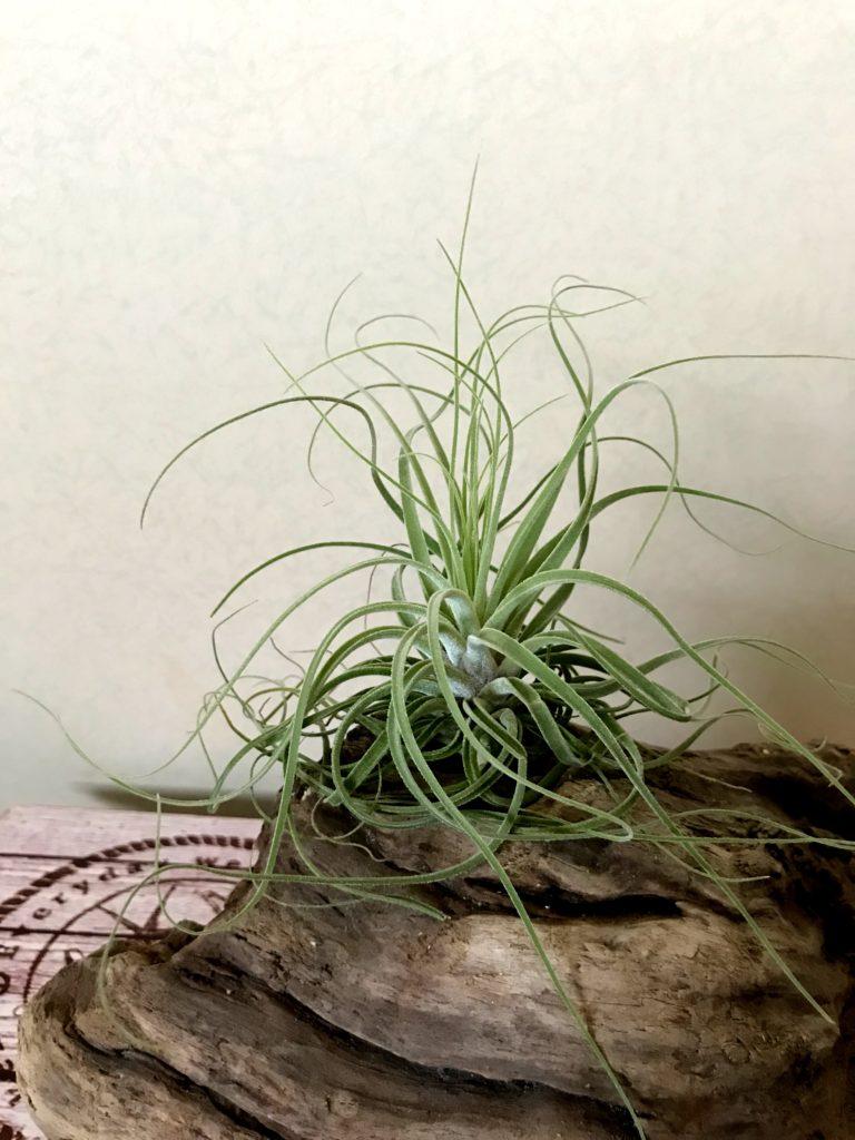 チランジア・マツダエ Tillandsia matudae