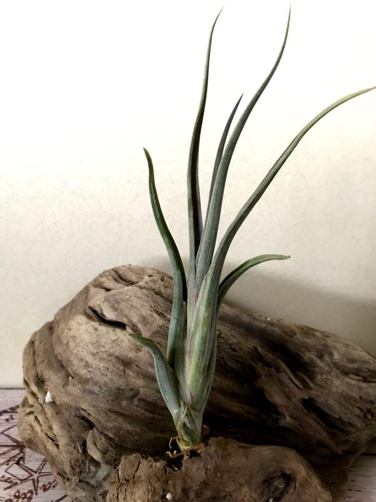 チランジア・インターメディア×パウシフォリア Tillandsia intermedia x T.paucifolia