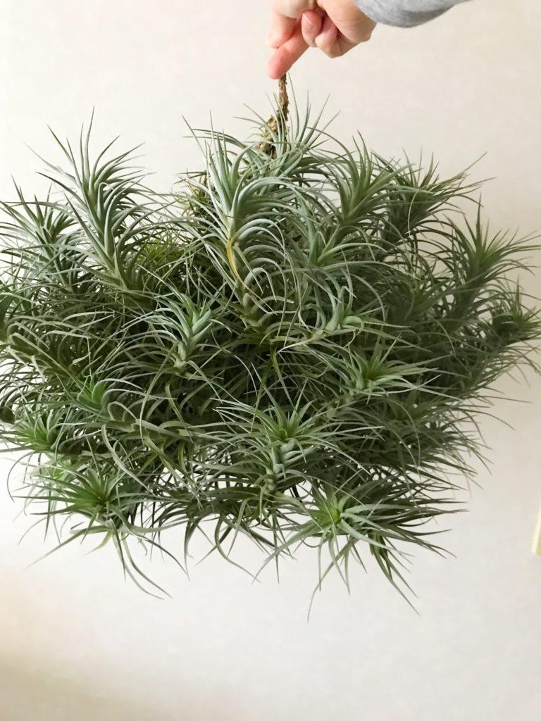 チランジア・アエラントス×ベルゲリ Tillandsia aeranthos × T. bergeri