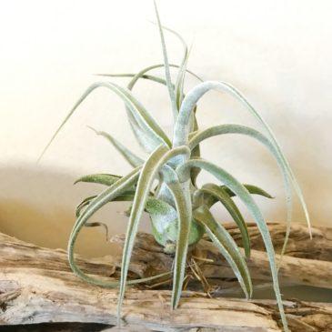 チランジア・ルシール Tillandsia Lucille (T. ehlersiana x T.streptophylla) ティランジア育て方 図鑑