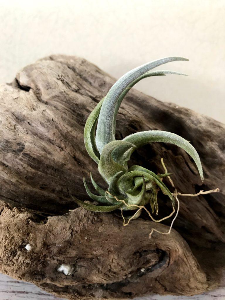 チランジア・クシフィオイデス Tillandsia xiphioides