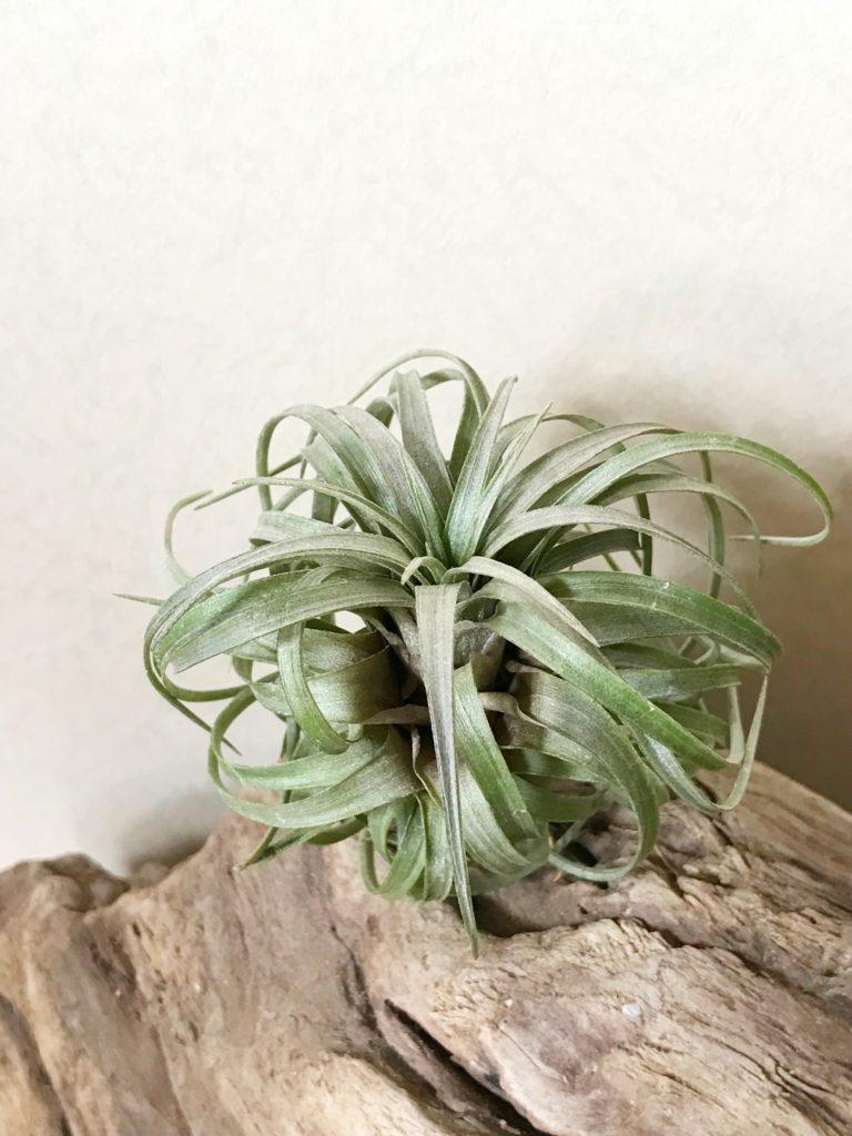 チランジア・カネスケンス(カネッセンス) Tillandsia canescens
