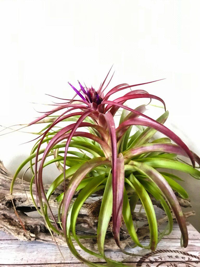チランジア・ブラデアナ×ローランドゴッセリーニ Tillandsia bradeana x T.roland-gosselinii
