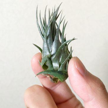 【Frontier Plants】オンラインストア9月29日約110種類!の紹介、価格と画像【エアプランツ チランジア】後編
