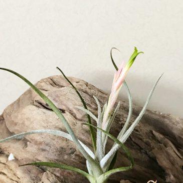 チランジア・トルティリス Tillandsia tortilis ティランジア育て方 図鑑