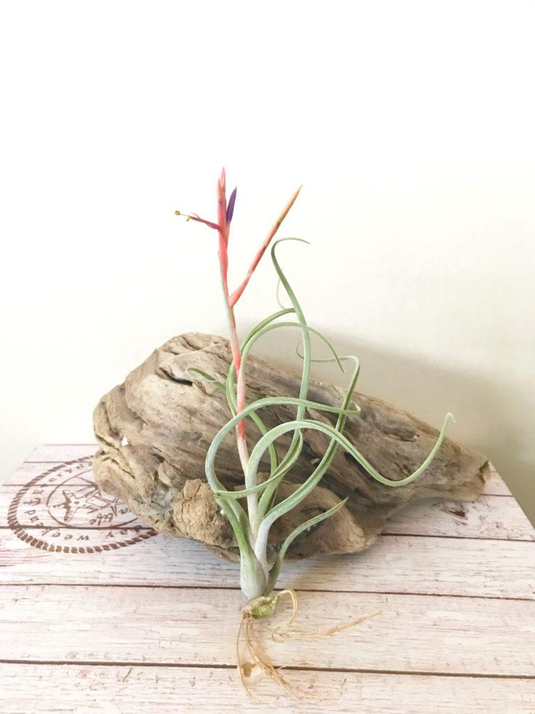 チランジア・アリザジュリア×プルイノーサ Tillandsia arhiza-Juliae × pruinosa