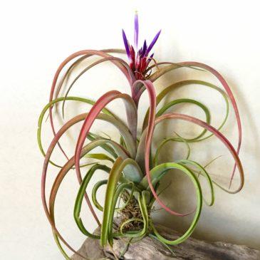 チランジア・カプトメデューサ×ブラキカウロス Tillandsia caput medusae × T.brachycaulos ティランジア育て方 図鑑