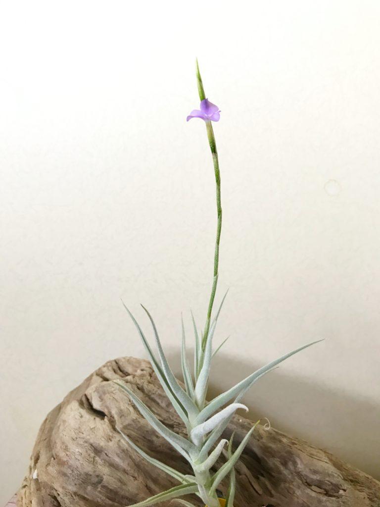 チランジア・パレアセア・マキシマ Tillandsia paleacea 'Maxima'