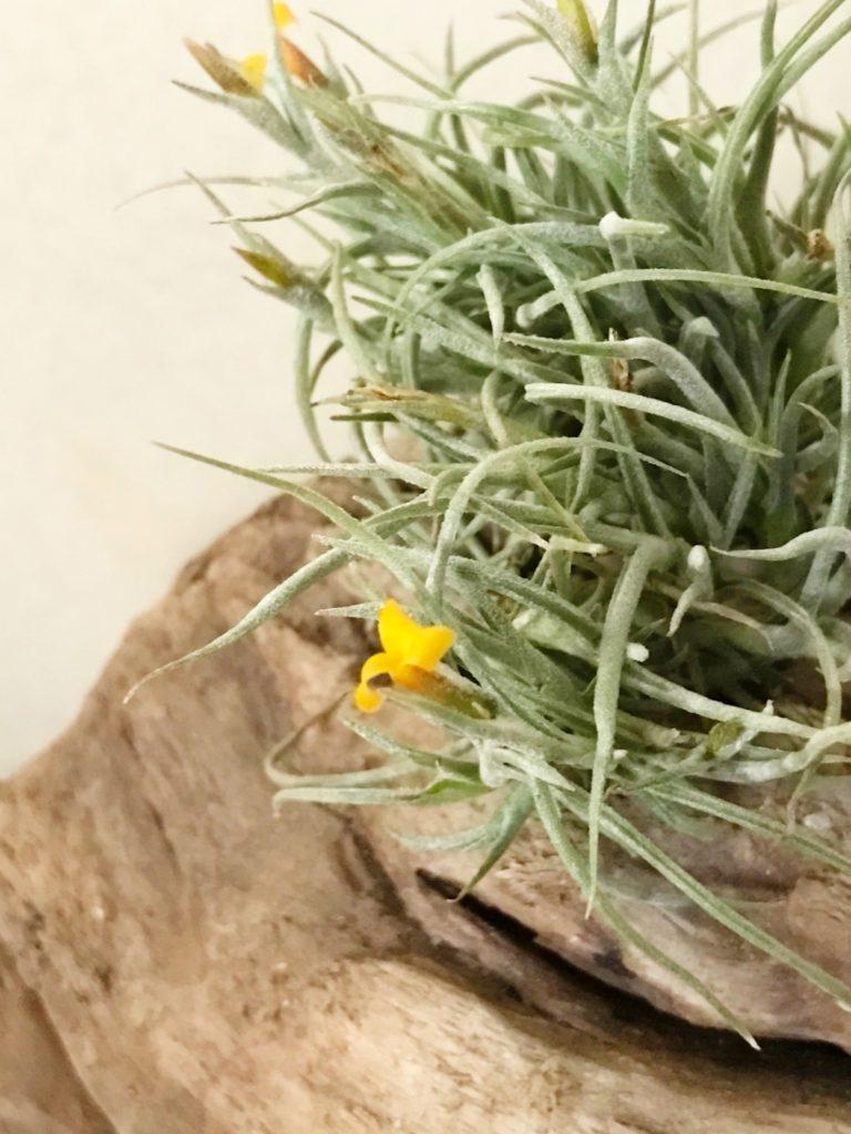 チランジア・クロカータ・トリスティス Tillandsia crocata var. tristis