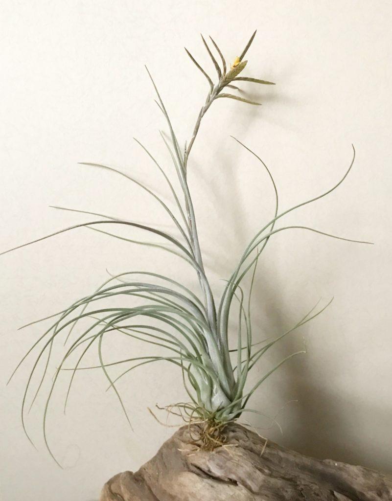チランジア・ディスティカ・ペトレア Tillandsia disticha 'Petrea' (var. petrea)