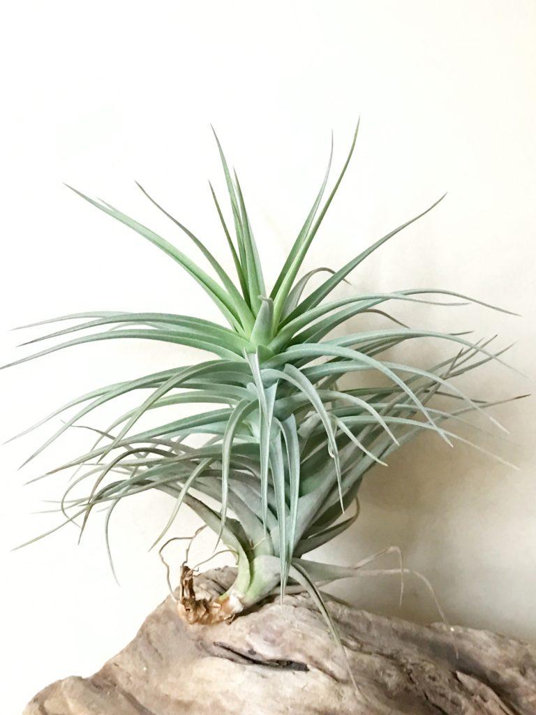 チランジア・アレキタエ×ストリクタ Tillandsia arequitae × T. stricta