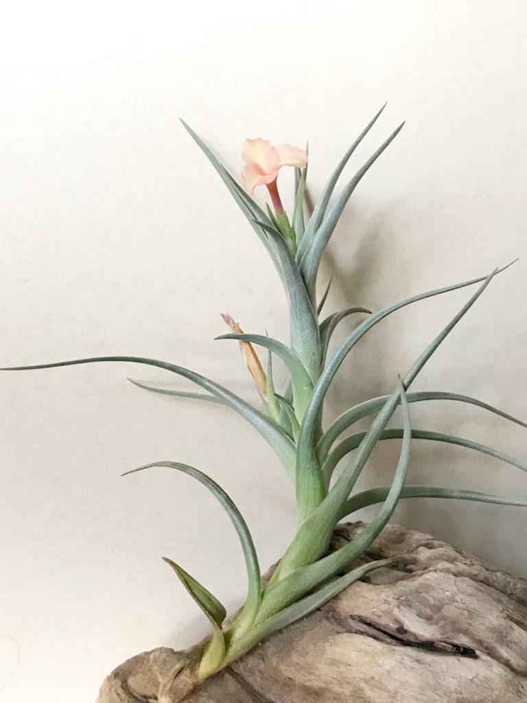 チランジア・ミスティックレインボー Tillandsia Mystic Rainbow(T.albertiana × T.arequitae)