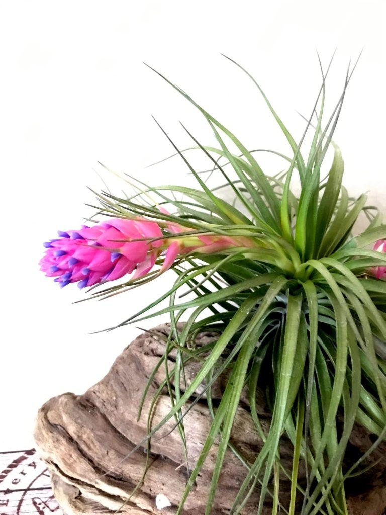 チランジア・ストリクタ・ギガンティクス Tillandsia stricta 'Giganticus'