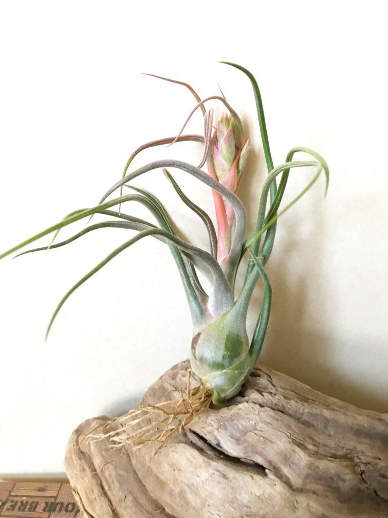 チランジア・セレリアナ×ブルボーサ Tillandsia seleriana × T. bulbosa