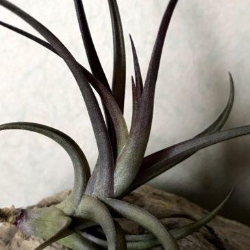 【Frontier Plants】オンラインストア4月11日入荷予定のチランジア紹介【ティランジア】(後編)