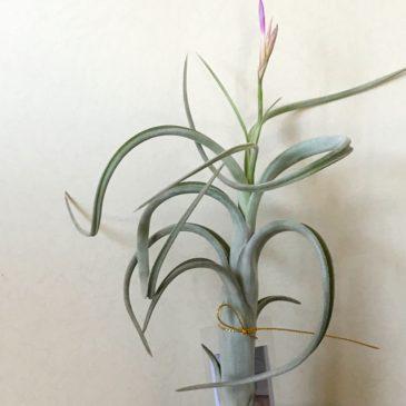 チランジア・インターメディア・ミニパープル Tillandsia intermedia 'Mini purple' ティランジア育て方 図鑑