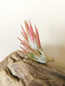 チランジア・イオナンタ・バンハイニンギー(タイプ2) Tillandsia ionantha var. vanhyningii (Type 2)