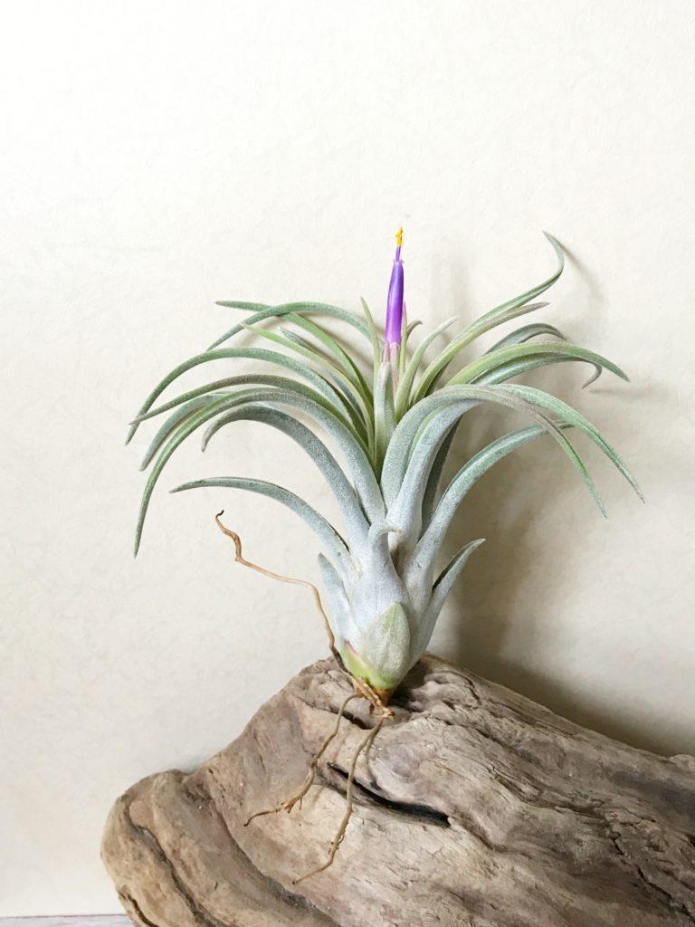 チランジア・チアペンシス×ミトラエンシス Tillandsia chiapensis × T. mitlaensis