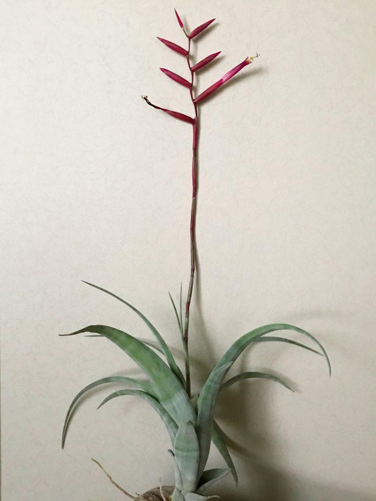 チランジア・フレクスオーサ・グランドケイマン Tillandsia flexuosa 'Grand Cayman'