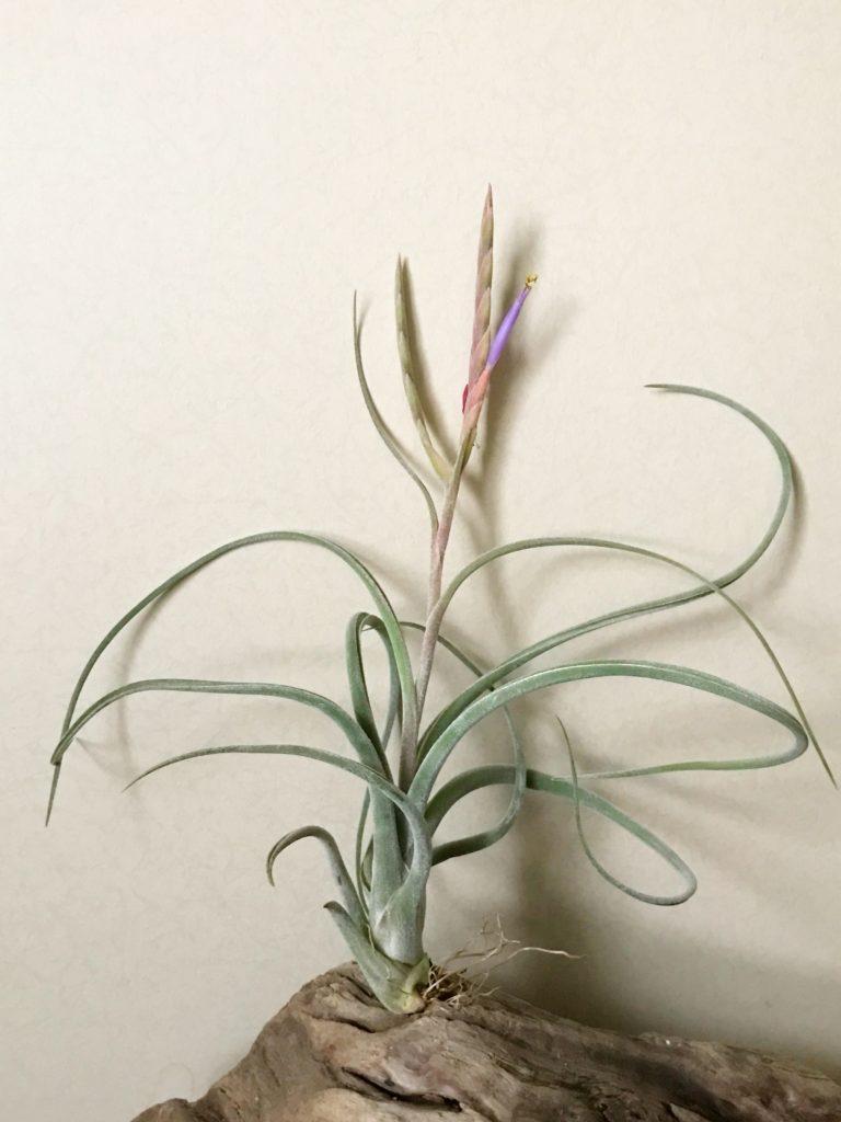 チランジア・カプトメデューサ×プセウドベイレイ Tillandsia caput-medusae × T. pseudobaileyi