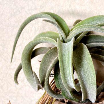 【Frontier Plants】オンラインストア1月16日約40種類!の価格と画像を紹介【エアプランツ チランジア】後編