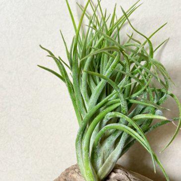 【Frontier Plants】オンラインストア7月17日約50種類!の価格と画像を紹介【エアプランツ チランジア】後編