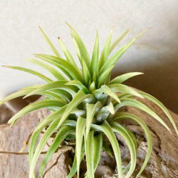 【Frontier Plants】オンラインストア7月17日約50種類!の価格と画像を紹介【エアプランツ チランジア】前編