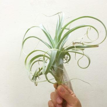 チランジア・セントユーロジス Tillandsia Saint Eulogius (T. albida X T. streptophylla) 育て方 図鑑
