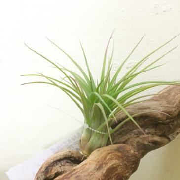 チランジア・アメージング Tillandsia Amazing (T. streptophylla X T. ionantha Fuego)育て方 図鑑