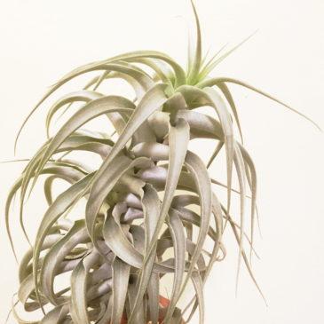 チランジア・カクティコラグローウィングフォーム Tillandsia Tillandsia cacticola 'Growing form' 育て方 図鑑