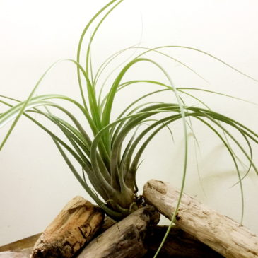 チランジア・ブラゼン Tillandsia Brazen(T.bulbosa×T.rodrigueziana) 育て方 図鑑