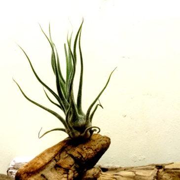 チランジア・プルイノーサ・コロンビアフォーム Tillandsia pruinosa Colombia Form 育て方 図鑑