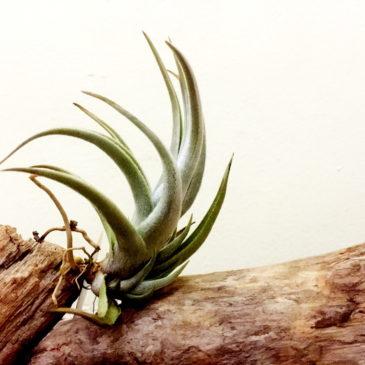 チランジア・クシフィオイデス・ファジーフォーム Tillandsia xiphioides(Fuzzy form) 育て方 図鑑