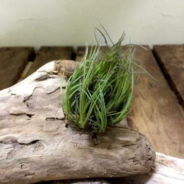 チランジア・テヌイフォリア・ホワイトフラワー Tillandsia tenuifolia'White Flower' 育て方 図鑑