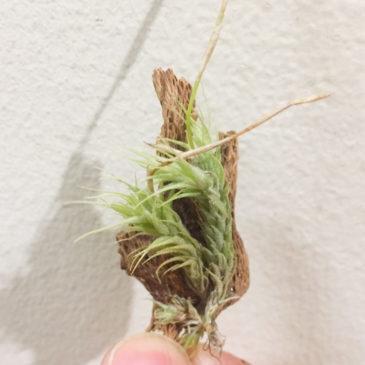 チランジア・トリコレピス Tillandsia tricholepis 育て方 図鑑