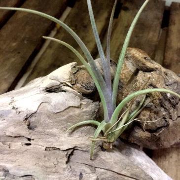 チランジア・ミスティックヘイズ Tillandsia Mystic Haze (T. albertiana X T. zecheri) 育て方 図鑑