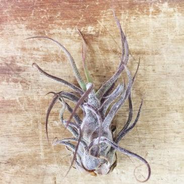 チランジア・プルイノーサ Tillandsia pruinosa 育て方 図鑑