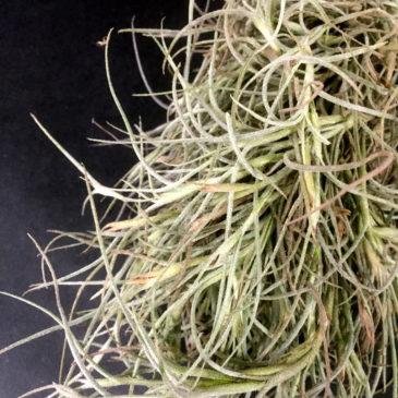 チランジア・キンバリー Tillandsia Kimberly (T. usneoides X T. recurvata) 育て方 図鑑