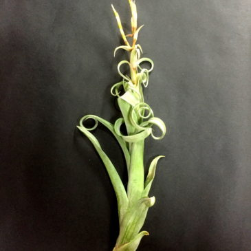 チランジア・カーリースリム Tillandsia Curly Slim (T. intermedia X T. streptophylla)育て方 図鑑