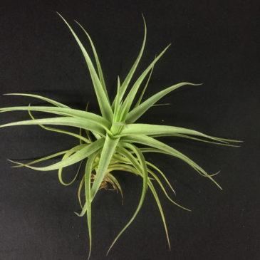 チランジア・ディックルータン Tillandsia Dick Rutan (T. aeranthos X T. ixioides)育て方 図鑑