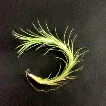 チランジア・テヌイフォリア・ボンソールビューティー Tillandsia tenuifolia 'Bonsall Beauty' 育て方 図鑑