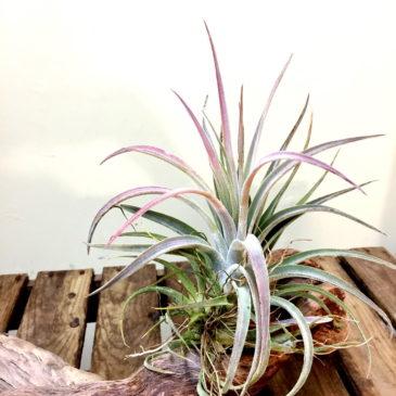 チランジア・チアペンシス×ベルティナ Tillandsia chiapensis x velutina 育て方 図鑑