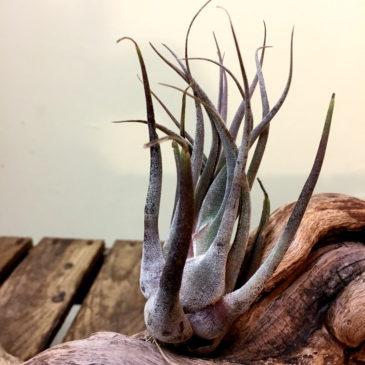 チランジア・セレリアナ・ミニパープル Tillandsia seleriana 'Mini Purple' 育て方 図鑑