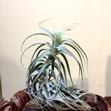 チランジア・ストラミネア・トールホワイト Tillandsia straminea 'Tall White' 育て方 図鑑
