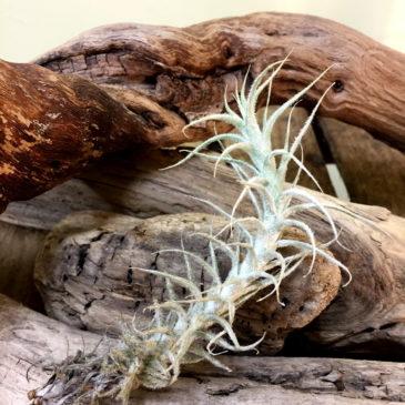 チランジア・ステリフェラ Tillandsia stellifera 育て方 図鑑